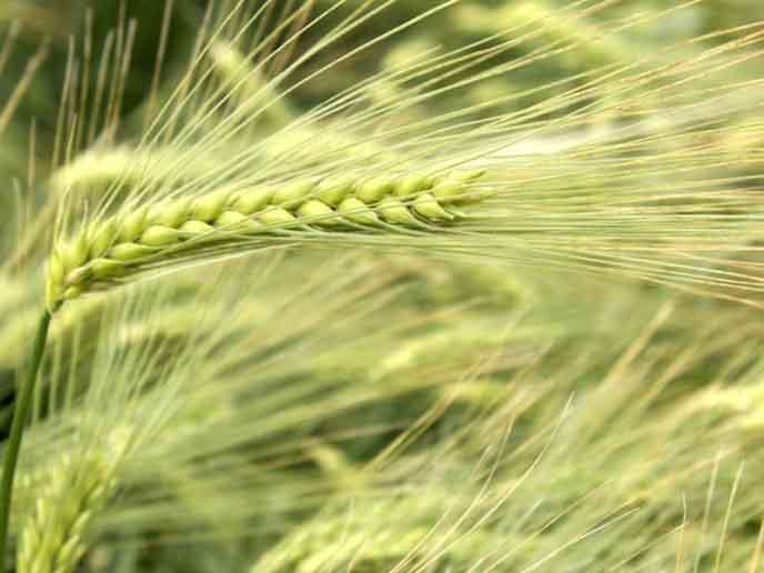 Ячмень (английский – barley)