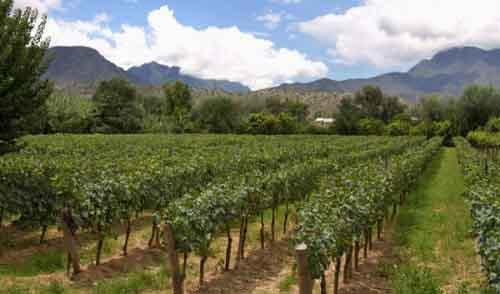 Виноградник в Боливии