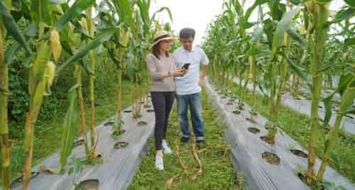 Выращивание кукурузы в Брунее