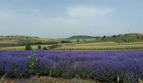 Поле лаванды в Болгарии.