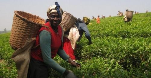 Сельское хозяйство Камеруна