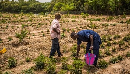 Сельское хозяйство Гвинеи