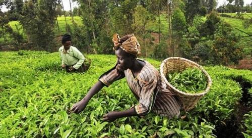 Сельское хозяйство Кении