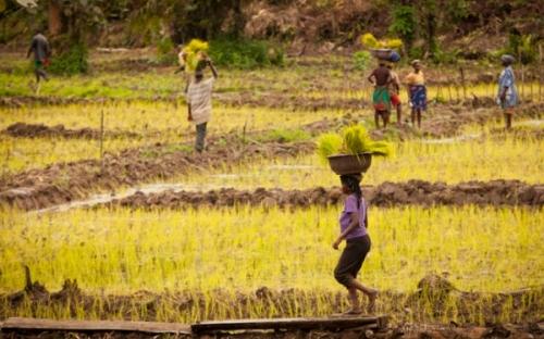 Сельское хозяйство Либерии