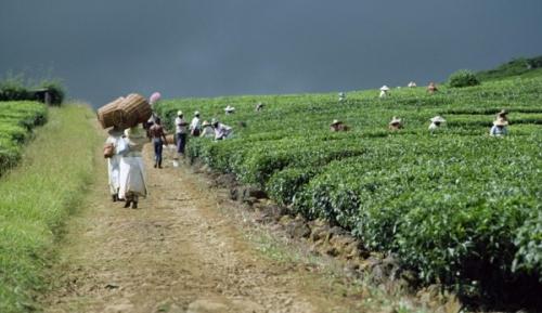 Сельское хозяйство Маврикия