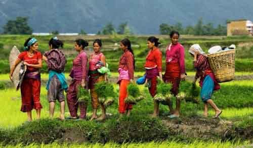 Сбор урожая в Непале