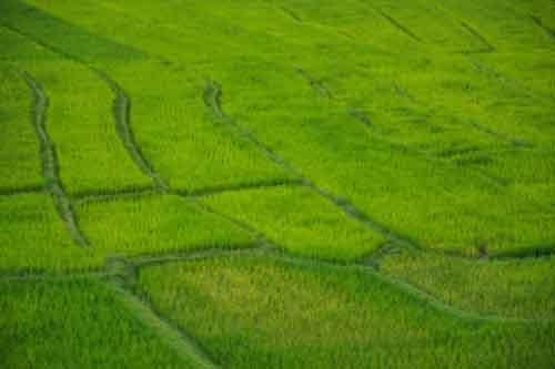 Рисовое поле в Таиланде