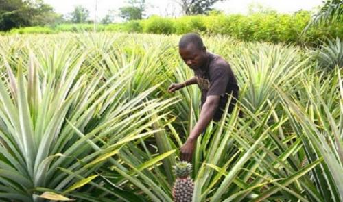 Сельское хозяйство Сент-Китса и Невиса
