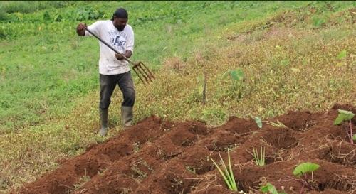 Сельское хозяйство Сент-Винсента и Гренадин