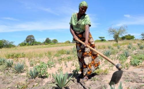 Сельское хозяйство Танзании title=
