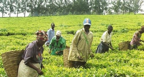 Плантация чая, Уганда
