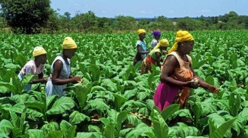 Производство табака, Зимбабве