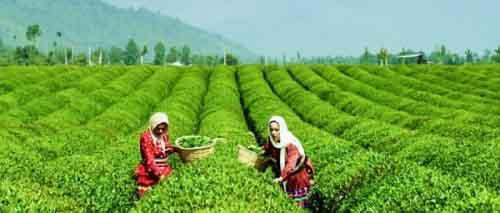 Плантация чая, Иран