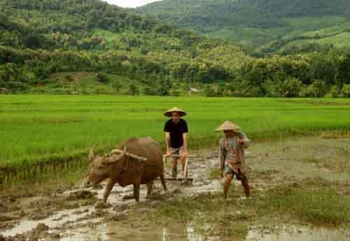 Рисовое поле, Лаос